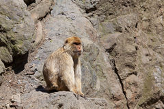 Lonely Barbary Macaque (Macaca sylvanus) Stock Image