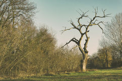 Lonely bare tree on the field in winter Stock Photography