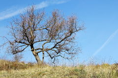 Lonely bare tree on a grass hill in winter Royalty Free Stock Photography