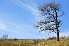 Lonely bare tree on a grass hill in winter Stock Photography