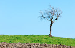 Lonely bare tree green grass on blue sky Royalty Free Stock Photo