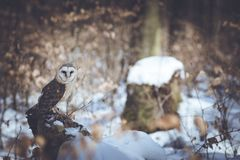 Lonely barn owl Royalty Free Stock Images