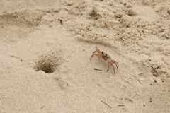Lonely beach crab. Waiting for tide to come on Vietnamese coast of South Chinese sea near Mui Ne village. Winter 2017 Stock Photography