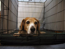 Lonely beagle. A small, 10-year-old female beagle waiting in a large cage Stock Photos