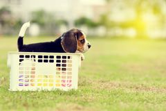 Lonely Beagle Royalty Free Stock Photography