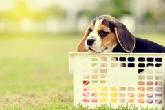 Lonely Beagle Royalty Free Stock Image
