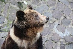 Lonely Bear Royalty Free Stock Photography