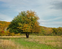 Lonely beautiful autumn apple tree Royalty Free Stock Photos