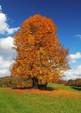 Lonely beautiful autumn tree. Autumn landscape. Stock Photo