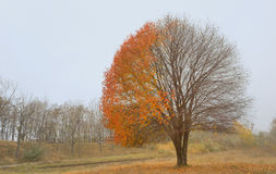 Lonely beautiful autumn tree Stock Photography