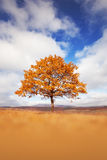 Lonely beautiful autumn tree in the meadow Royalty Free Stock Images
