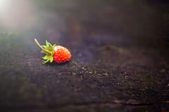Lonely beautiful, red wild strawberry on a blurry dark background. Forest, abstract background with a sunbeam royalty free stock photography
