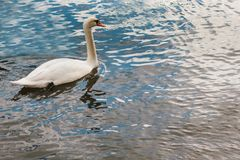 A lonely beautiful white swan swims along the river. A lonely beautiful white swan floats along the Vltava River in Prague Royalty Free Stock Images