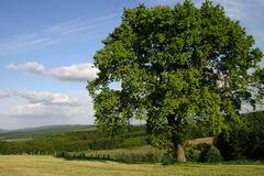 Lonely beech. Lanscape with tree and blue sky Royalty Free Stock Photos