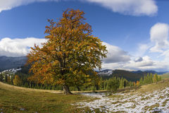 Lonely beech tree. A beauriful beech tree marked by the hand of autumn in the background of the Carpathians with snowy tops Royalty Free Stock Photography