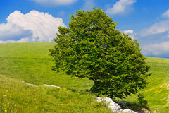 Lonely Beech Tree at Spring - Lessinia Italy Stock Images