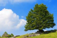 Lonely Beech Tree at Spring - Lessinia Italy Royalty Free Stock Photos