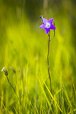 Lonely bellflower Royalty Free Stock Image