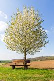 Lonely bench sweet cherry wild blossoming tree Prunus avium in s. Pring with beautiful blue sky and farmland in background royalty free stock photos