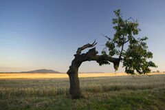 Free Lonely Bent Tree Stock Images - 184824394