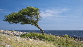 Lonely bent tree by the sea coast. Lonely tree bent by the wind at the sea coast Royalty Free Stock Photo