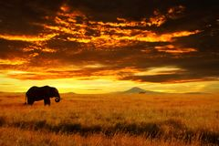 Lonely Big Elephant Against Sunset In Savannah. Serengeti National Park. Africa. Tanzania Stock Photo