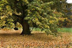 Lonely big linden tree at autumn Royalty Free Stock Image