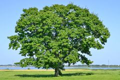Lonely big tree in green field on a background clear sky.  Stock Photography