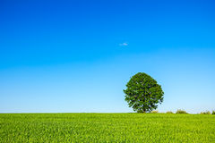 Lonely big tree Stock Image