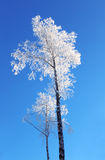 Lonely birch Royalty Free Stock Photography