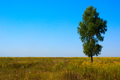 Lonely birch Stock Image