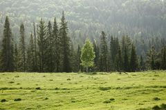 Lonely birch on the background of spruce forest royalty free stock photography