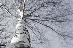 Lonely birch. Black and white image of a birch taken in Poland Stock Photography