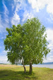 Lonely birch by a bright summer day Royalty Free Stock Photo