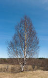 Lonely birch Royalty Free Stock Images