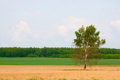 Lonely birch in the field. royalty free stock images