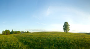 Lonely birch in a field. Royalty Free Stock Photo