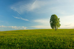 Lonely birch in a field. Royalty Free Stock Image