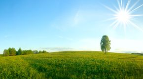 Lonely birch in a field. Panorama. Stock Images
