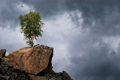 Lonely birch on a rock Royalty Free Stock Photo