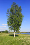 Lonely birch, Russia Stock Images