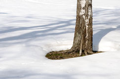 Lonely birch in the snow thawed Royalty Free Stock Images