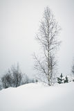 Lonely birch Stock Images