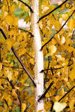 Lonely birch on a sunny autumn day. Yellow and red leaves on a lonely birch on a sunny autumn day royalty free stock photo