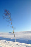 Lonely birch tree Stock Image