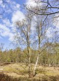 A lonely Birch tree in spring colors in the park Ockenburg, Den Haag, Netherlands stock image