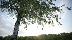 Lonely birch tree at sunset. Dolly shot. Lonely birch tree at sunset. HD shot with slider stock video