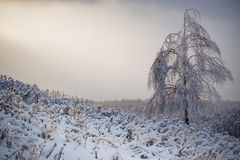 Lonely birch in winter Stock Photos