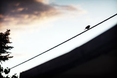 Lonely bird on electrical wire. At dusk Royalty Free Stock Photos