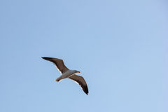 Lonely bird flying in peace Royalty Free Stock Photography